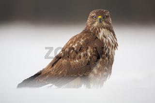 Alert common buzzard, Buteo buteo, sitting on snow in winter.