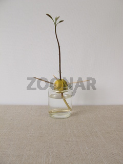 Avocadosamen mit Avodaco Schössling