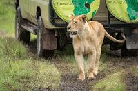 Lioness walks along muddy track past jeep