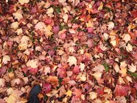 Red fallen leaves and foot in black sneaker