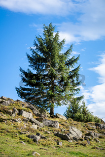 lonely fir tree in the mountains