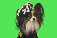 Beautiful dog Papillon in pirate costume on green background