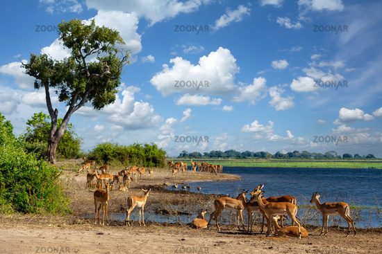 drinking herd of impala in Chobe, Botswana