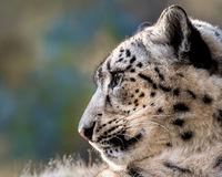 Snow Leopard XXIX