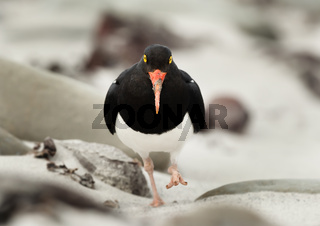 Close up of Pied Oystercatcher