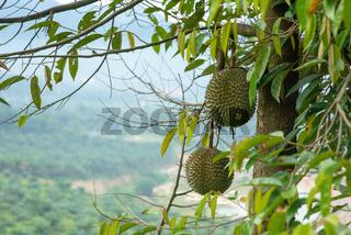 Blackthorn durian tree.
