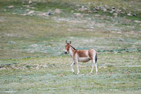 equus kiang, wild ass