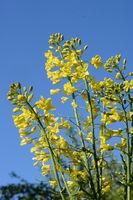 Kohlblüten, gelb vor blau