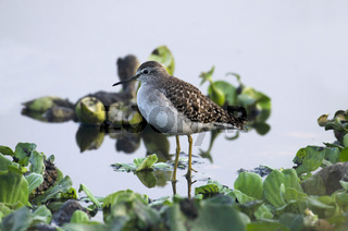 Spotted Sandpiper, Actitis macularius in search of food near Pune, Maharashtra, India