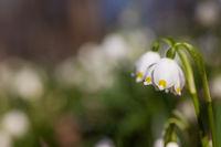 Nahaufnahme Mäzenbecher Blüte