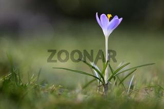 Einzelner Elfenkrokus (Crocus tommasinianus) im Rasen, Nahaufnahme