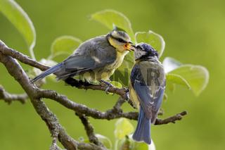 Blaumeise füttert Ästling