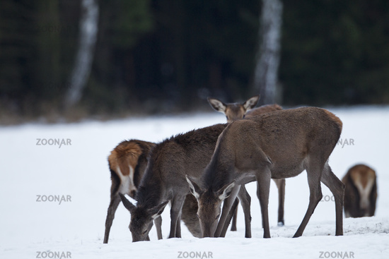 Rottier und Kaelber im Winter