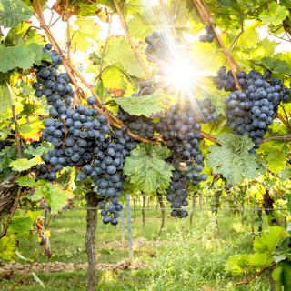 Reife Blaue Weintrauben hängen im direkten Gegenlicht der Sonne am Strauch