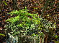 Fichtenschösslinge wachsen in einem Baumstumpf