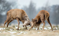 Close up of Red deer fighting