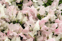 sweet pea Tracy Ann and Patricia Marily (Lathyrus oderatus)