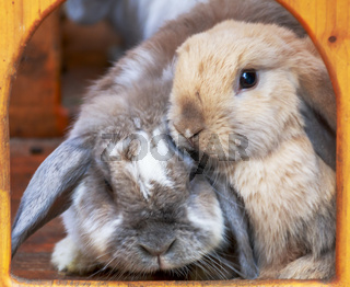 Kuschelnde Kaninchen, Widder in ihrer Box