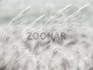 Gräser im Winter