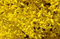 Beautiful yellow flowers of forsythia close-up in the bright sun