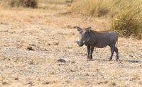 Warthog in the Kalahari