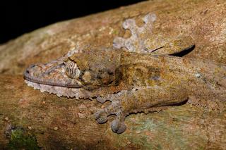 leaf-tailed gecko, Uroplatus fimbriatus, madagascar