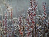 Rauschbeeren Sträucher mit Frost