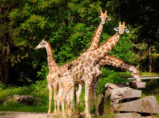 Vier Giraffen bilden einen Fächer