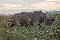 A rhinoceros in the savannah
