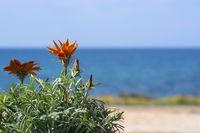 Bright orange aster flower blue sea horizon space