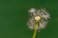 Dandelion Wind Propagation