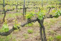 Chianti vineyard landscape in Tuscany