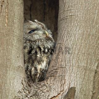 in seiner Baumhöhle... Waldkauz * Strix aluco *