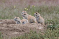 Black Tailed Prairie Dog, First Peoples Buffalo Jump State Park Montana