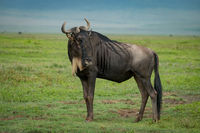 White-bearded wildebeest on grassland with head turned