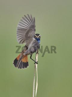 Bluethroat, Luscinia svecica, passerine bird, blaukehlchen