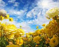 Large yellow garden buttercups
