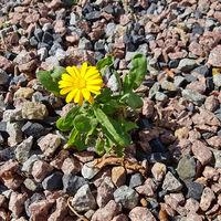 Kleine gelbe Blume blüht auf steinigem Untergrund