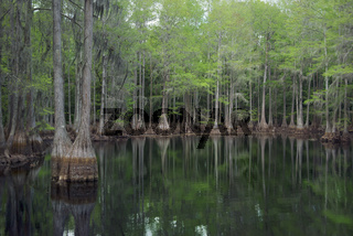 Cypress trees in Florida swamp