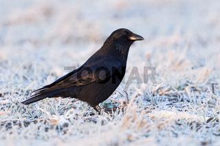 bei frostigen Temperaturen... Rabenkrähe * Corvus corone *, auch Aaskrähe genannt