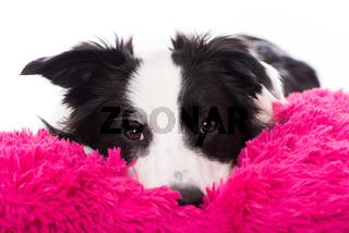 Junger Border Collie liegt müde auf einem Kissen