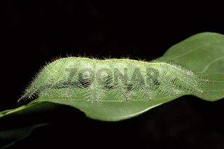 Powdered Baron Caterpillar, Euthalia sp, Nymphalidae, Trishna, Tripura