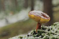 Rotfussroehrling (Xerocomellus chrysenteron)