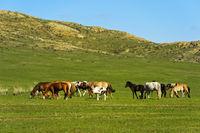 Pferdeherde grast in der Steppe