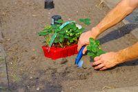 Erdbeerpflanze pflanzen im Gartenbeet im Sommer - planting a strawberry plant in summer garden