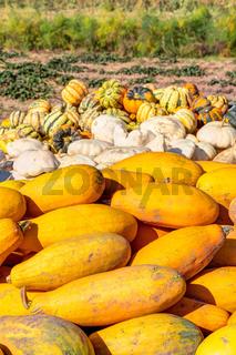 Frische Kürbisse aus biologischem Anbau und Ernte