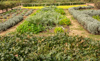 Vegetable and herb garden in traditional allotment