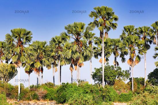 Palmenlandschaft im Liwonde Nationalpark, Malawi   Landscape with plams at Liwonde National Park, Malawi