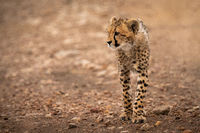Cheetah stands on rocky track looking left