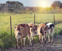 Steers in a farmland